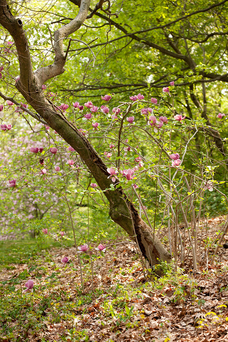 Magnolia soulangeana 'Lennei'