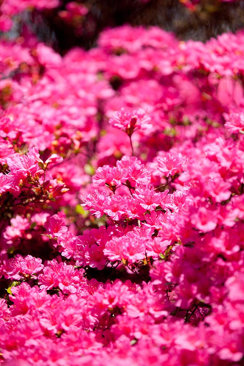 Rhododendron-'Amoenum'