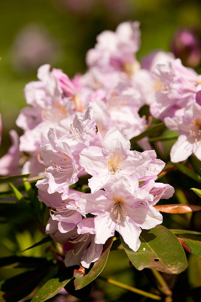 0515-Rhododendron-'Dexter-858'-1200x800