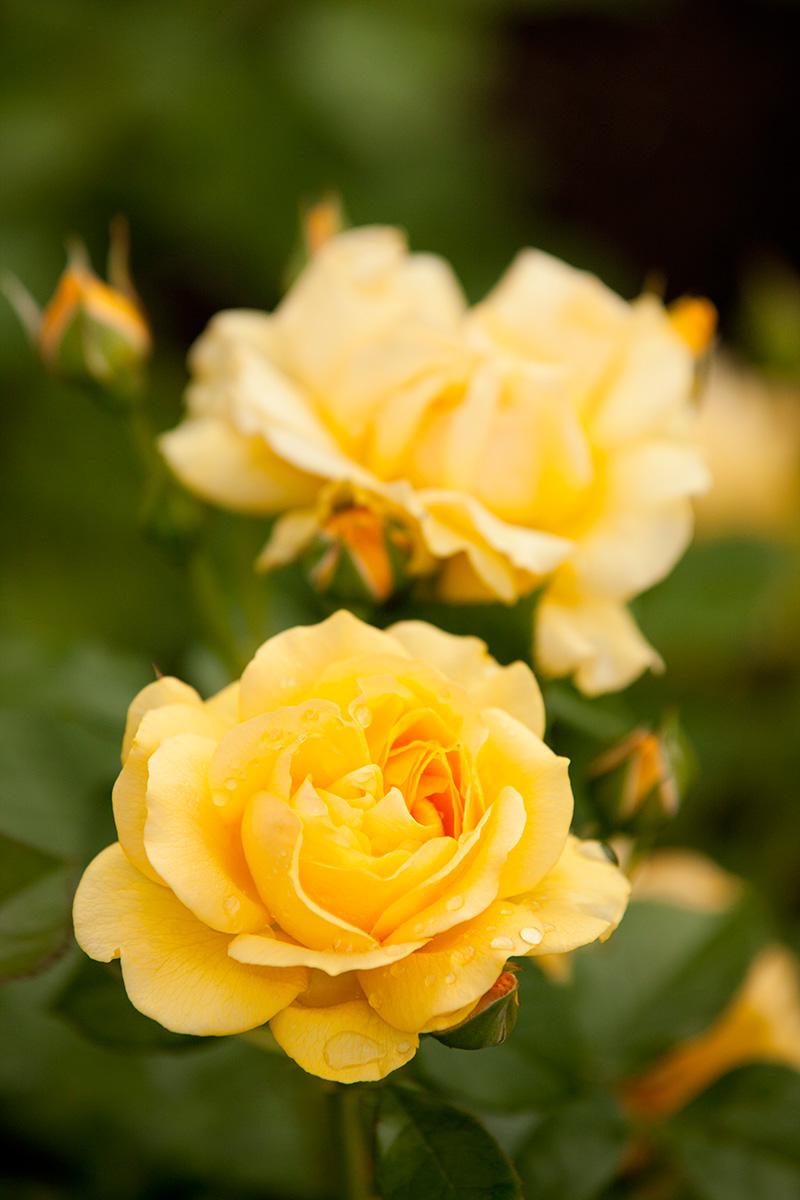 0615-Floribunda-rose-Rosa-Julia-Child-1200x800