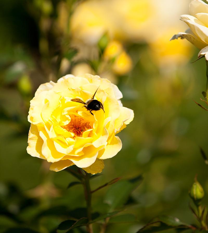 Peggy Rokefeller Rose Garden bee