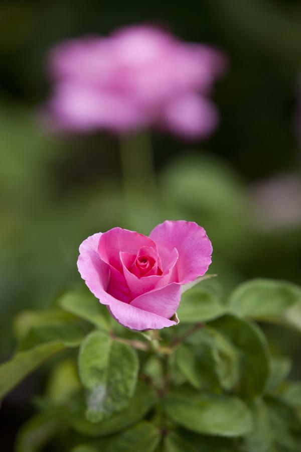 Rosa 'The McCartney Rose'