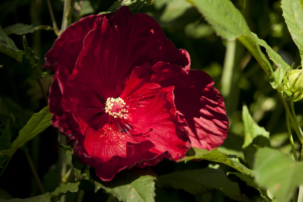Hibiscus Summerific 'Cranberry Crush' 01