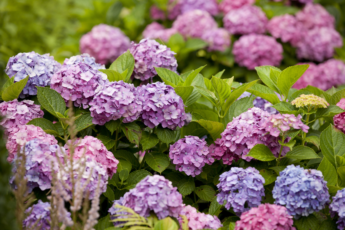 hydrangea archives  plant talk, Beautiful flower