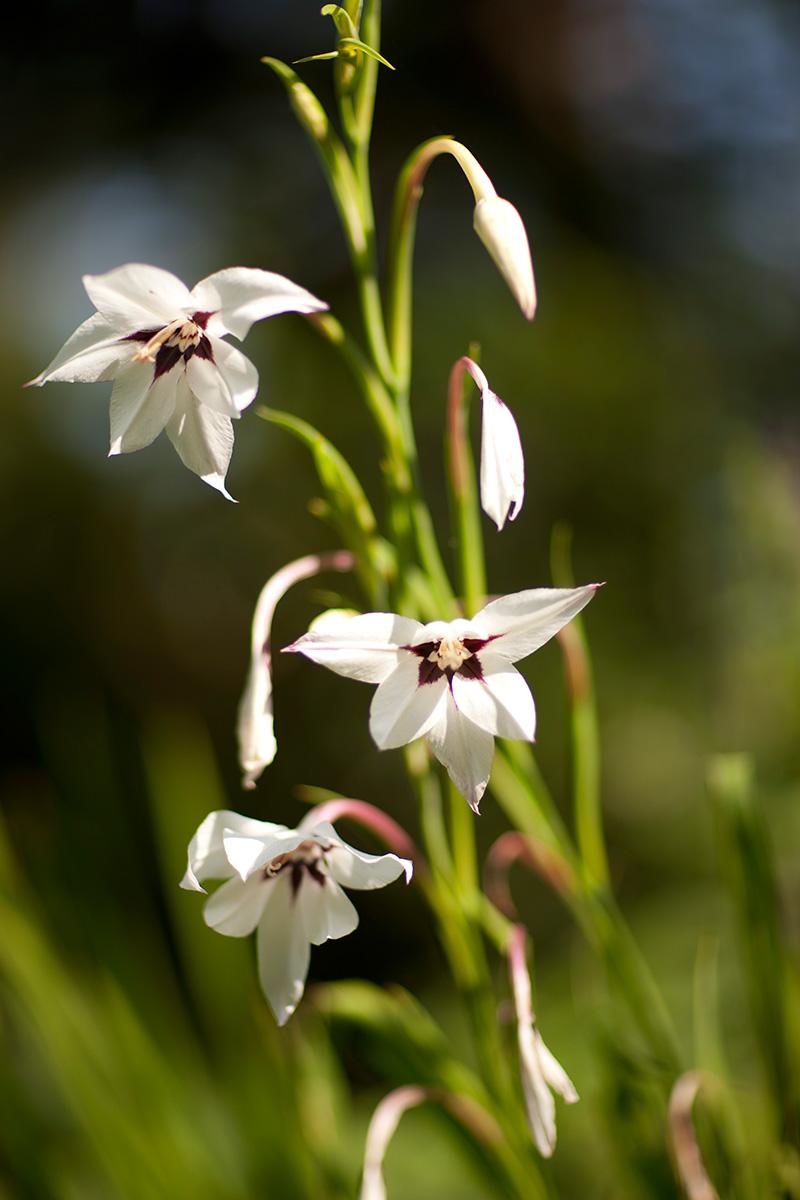 0815-Gladiolus-callianthus-1200x800