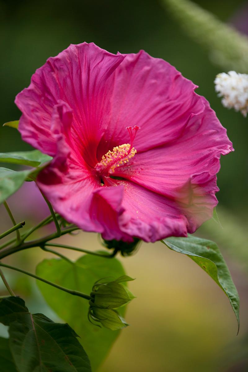 0815-Hibiscus-moscheutos-'Jazzberry-Jam'-800x1200