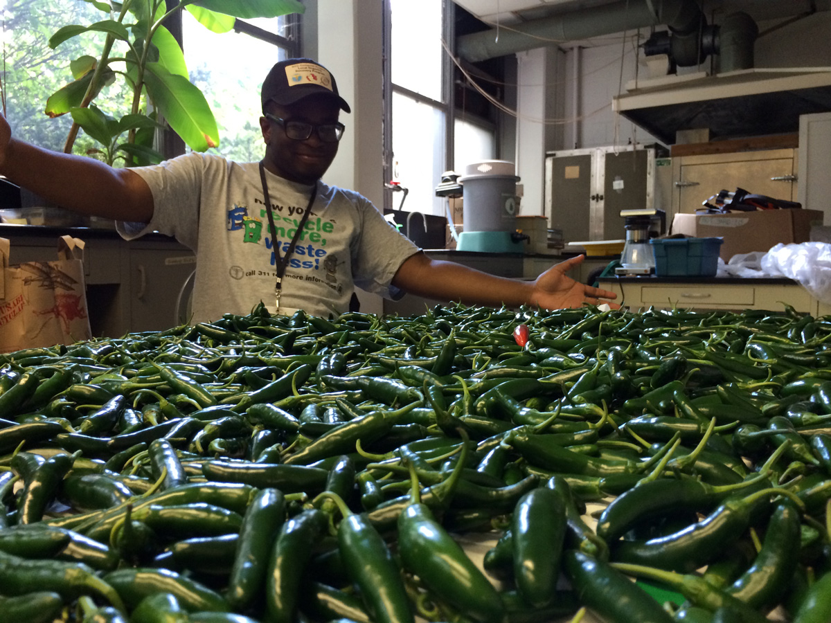 Ken readies a harvest of serrano peppers harvested from Bronx community gardens. The peppers will be made into Bronx hot sauce (http://bronxhotsauce.com), a product available at the Shop at NYBG and local Greenmarkets.