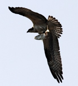An Osprey makes off with lunch