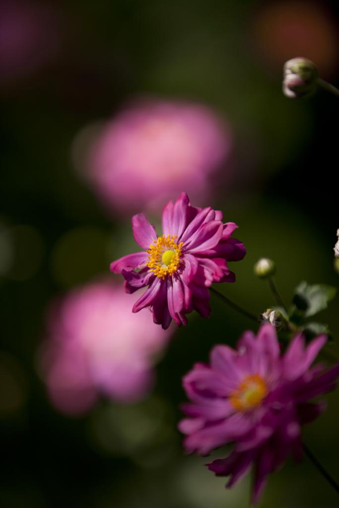 Anemone hupehensis var. japonica 'Bressingham Glow'