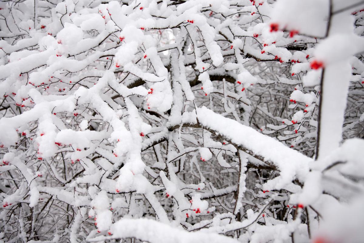-Ilex-verticillata-'Winter-Red'- home gardening center