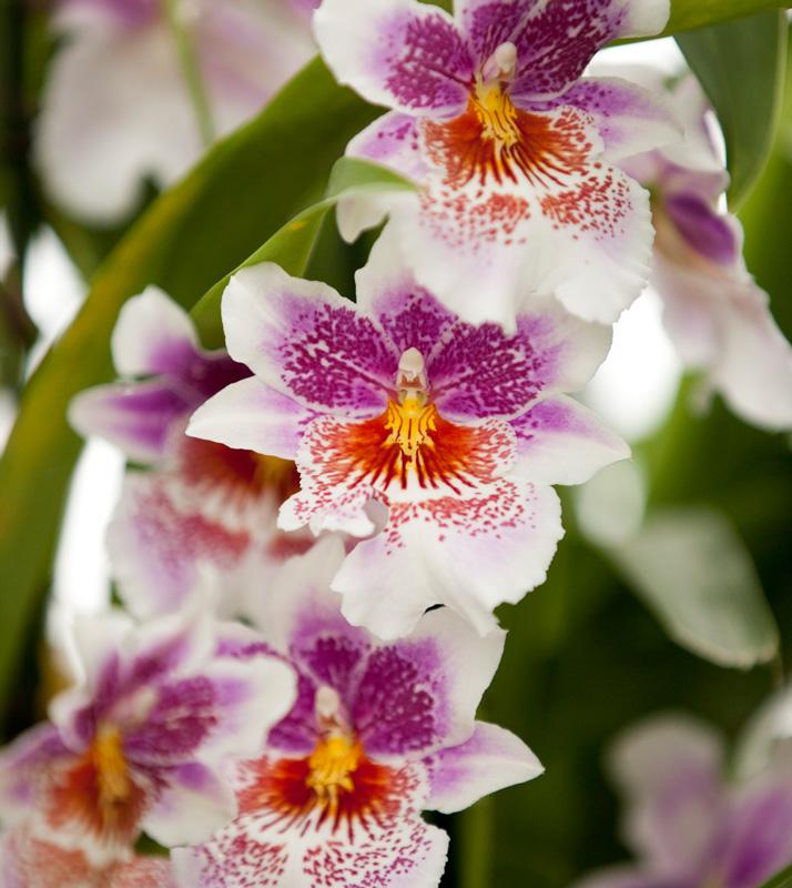 xOncidopsis-Memoria-Martin-Orenstein-Lulu orchid