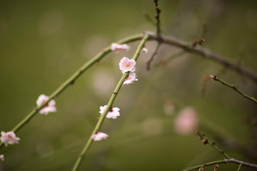 Prunus mume 'Pendula'