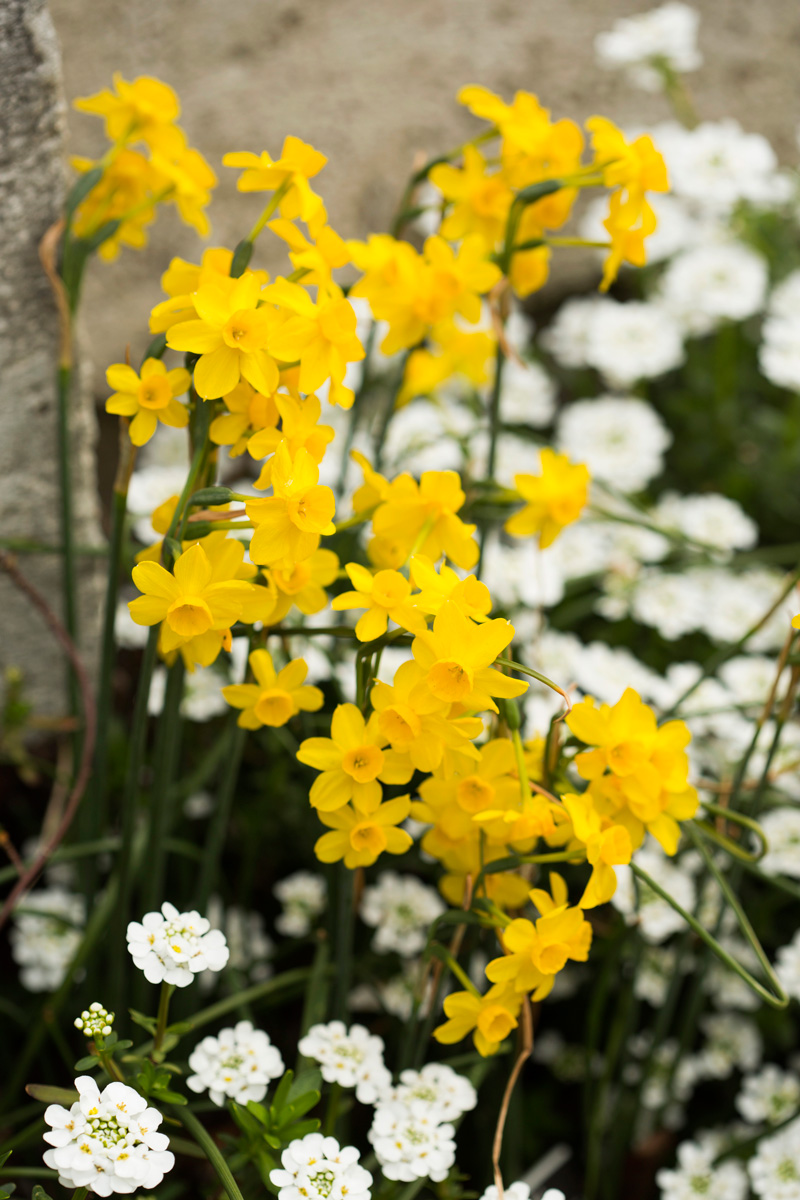 0416-Narcissus-fernandesii-1200x800