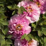 Paeonia suffruticosa cultivar in the Tree Peony Collection