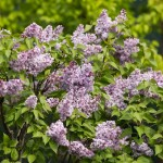 Syringa vulgaris 'Alphonse Lavallee' Lilac Collection