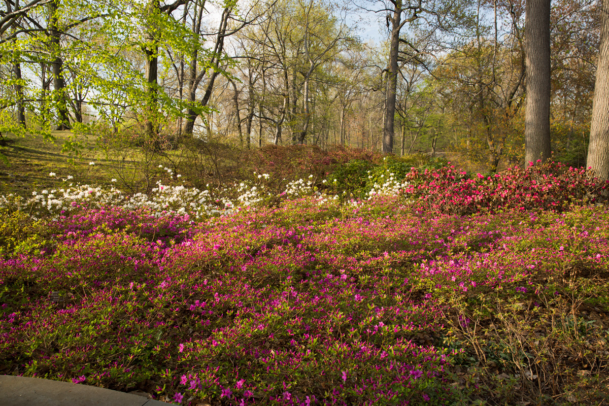 Azalea Garden Archives - Plant Talk