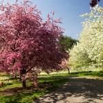 Flowering crabapples on Daffodil Hill New York Botanical garden malus