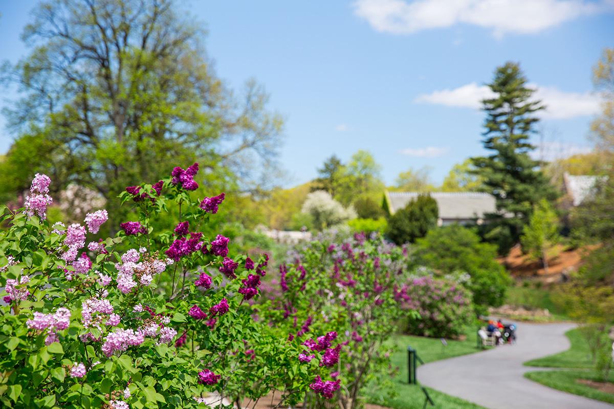 Lilac Collection New York Botanical Garden