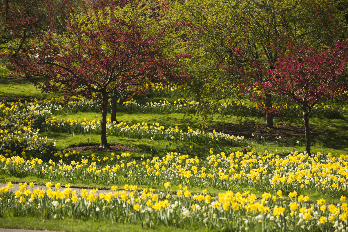 the daffodils and to daffodils Daffodils synonyms, daffodils pronunciation, daffodils translation, english dictionary definition of daffodils n 1 a any of various bulbous plants of the genus.