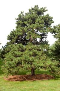 Pinus rigida, pitch pine