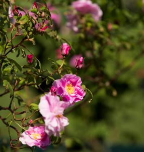 Hybrid Rugosa rose 'Therese Bugnet'