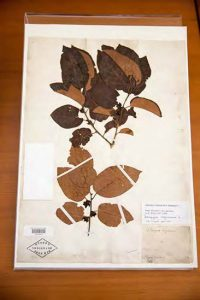 Herbarium specimen of a plant that originally grew in the Elgin Botanic Garden. NYBG William and Lynda Steere Herbarium.
