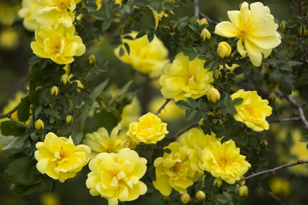 Hybrid Spinosissima rose Rosa 'Harrison's Yellow'