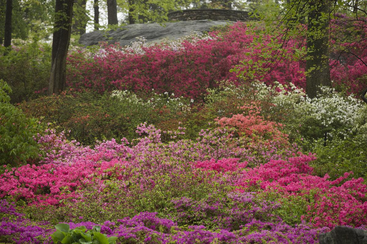 Azalea Garden Archives - Plant Talk