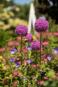 allium perennial garden