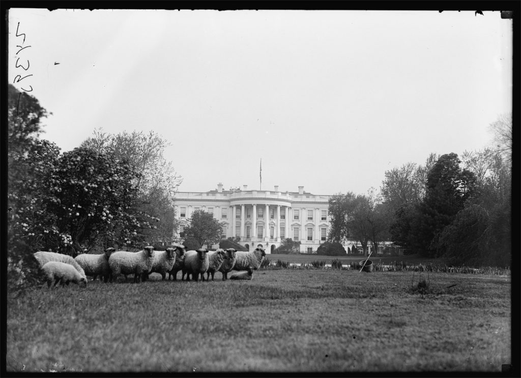 Sheep grazing the White House lawn (Courtesy of the Library of Congress)