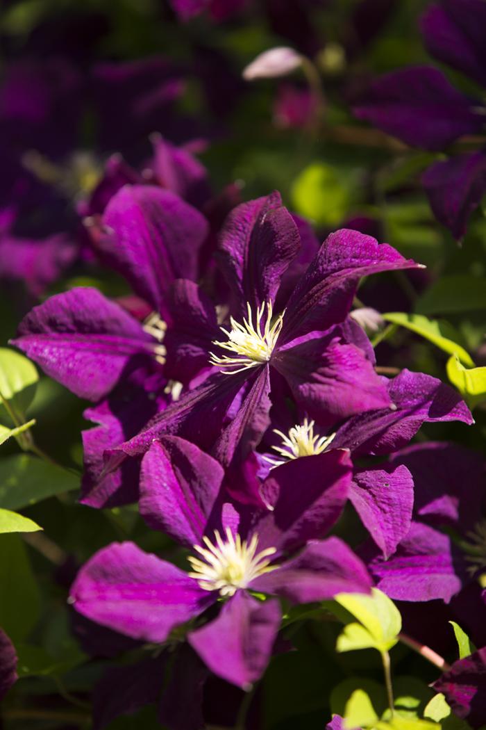 morning eye candy 39 etoile violette 39 plant talk. Black Bedroom Furniture Sets. Home Design Ideas