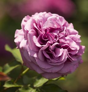 Floribunda rose Plum Perfect