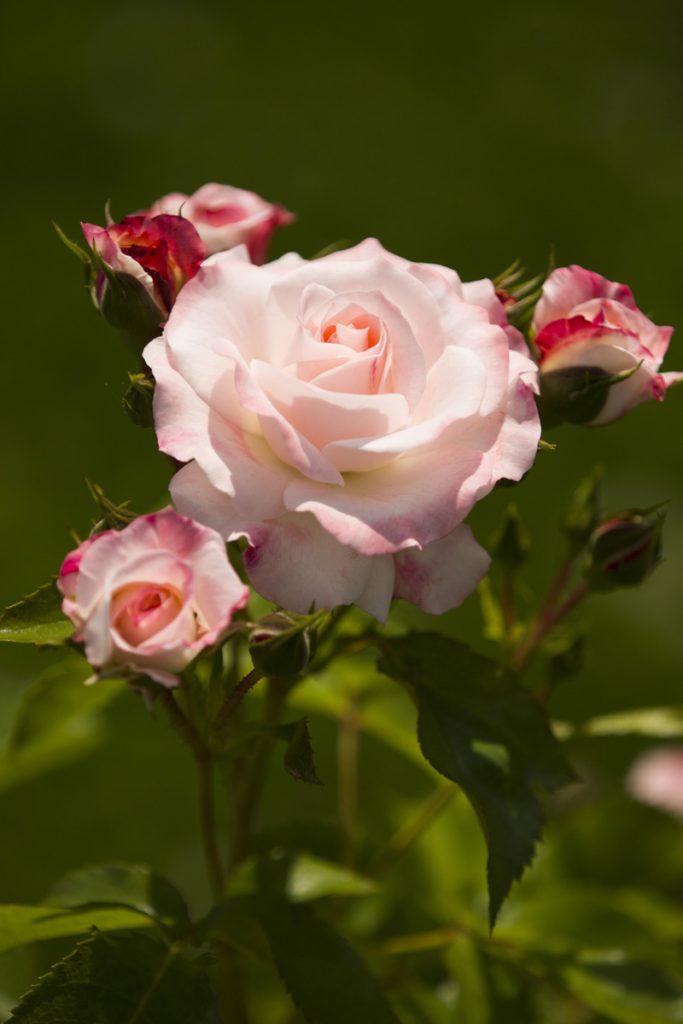 Shrub rose 'Rosenstadt Freising'