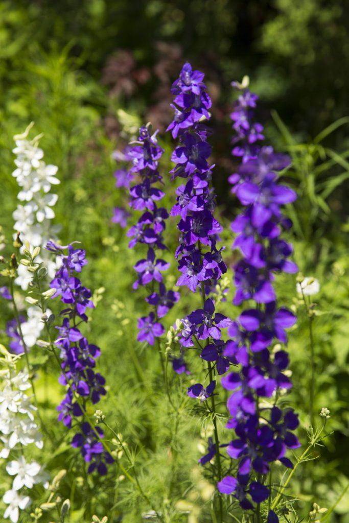 Salvia reptans West Texas form
