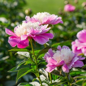 Matelich Anniversary Peony Collection