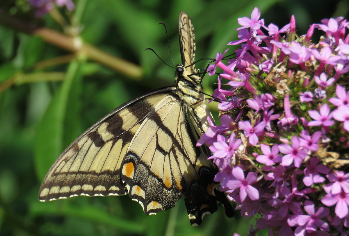 Eastern Tiger Swallowtail Native Plant Garden
