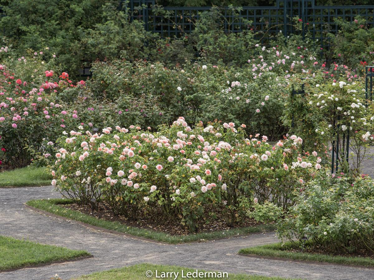 Larry Lederman Peggy Rockefeller Rose Garden
