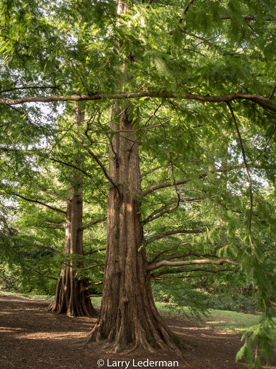 Larry Lederman Benenson Ornamental Conifers