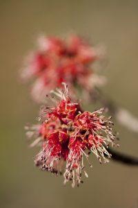 Flowers of red maple (<em>Acer rubrum</em>)