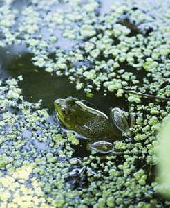 Frog in Mitsubishi Wetlands