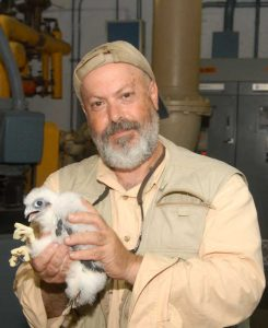 Figure 1: Mike Feller holding a peregrine falcon chick.