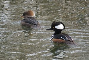 Photo of a pair of hooded mergansers on the Bronx River