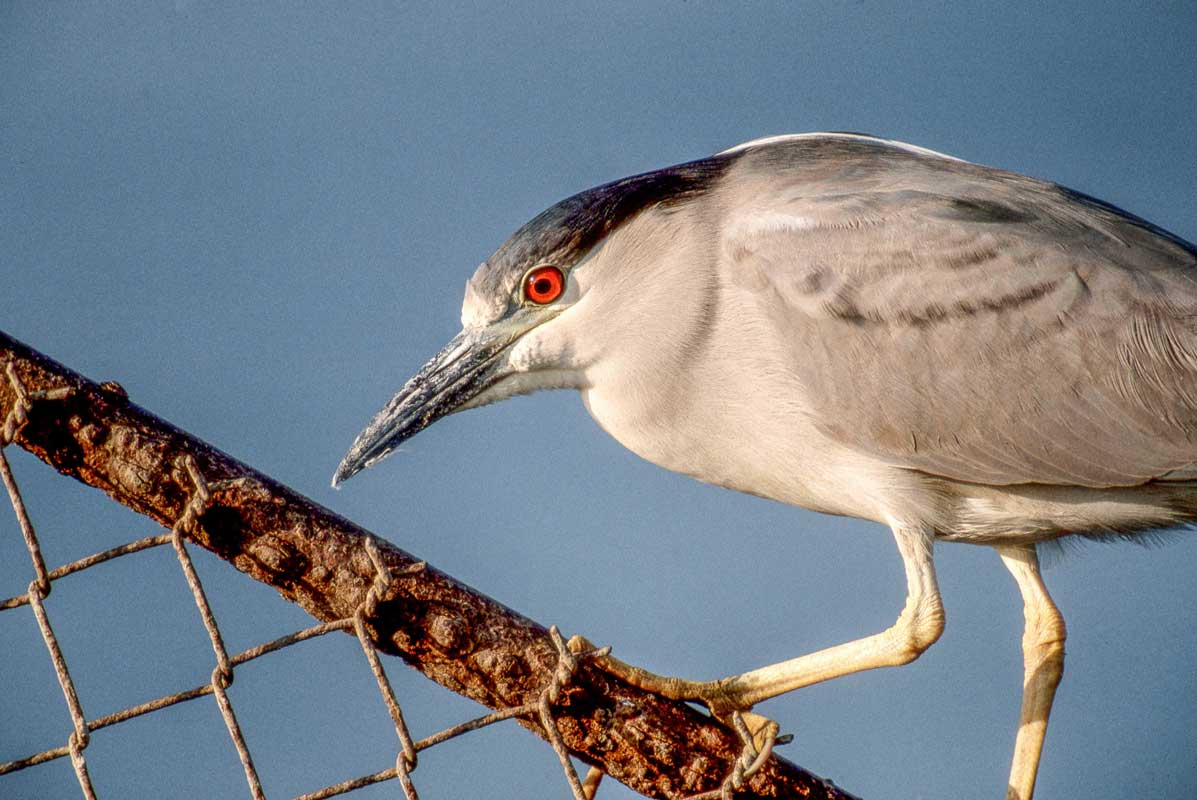 Figure 4: Black-crowned night heron, Marine Park, Brooklyn – Photo by Mike Feller