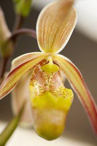 Photo of a Phragmipedium orchid