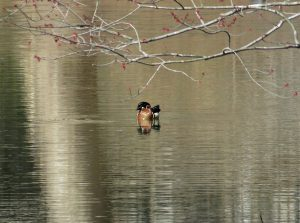 Photo of a wood duck