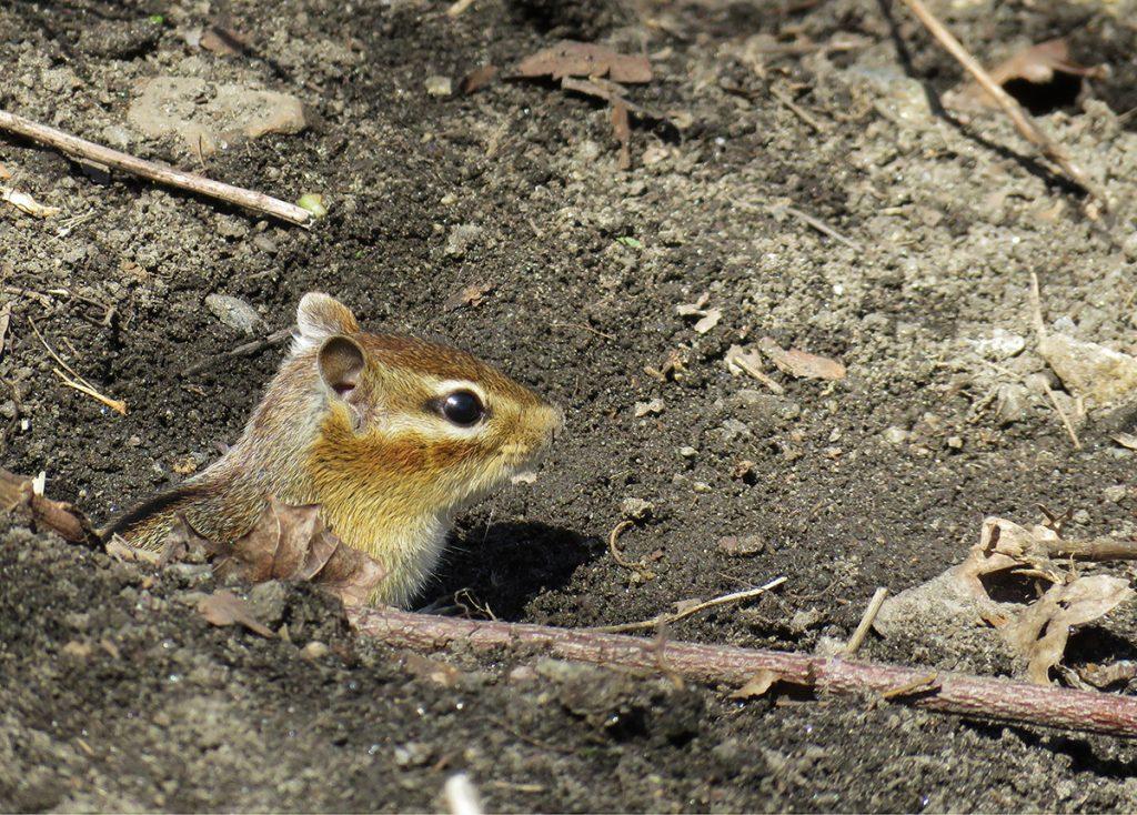 Photo of a chipmunk
