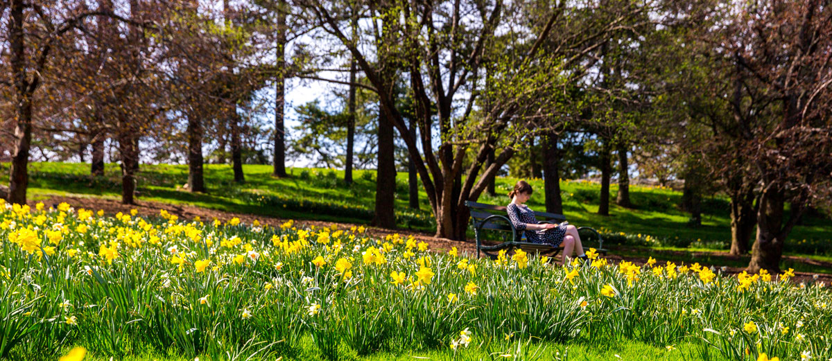 A visitor enjoys the spring air amid thousands of blooming daffodils