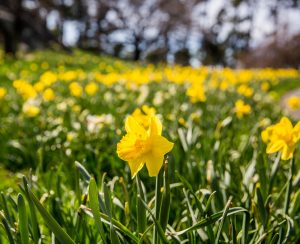 Flowering daffodils (narcissus) at NYBG