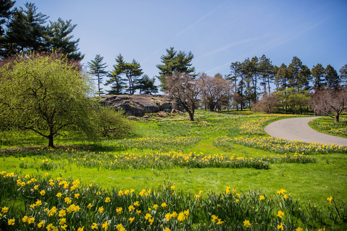 Daffodil Hill comes alive in spring with thousands of blooming Narcissus