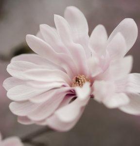Magnolia stellata _Waterlily_ 10-small